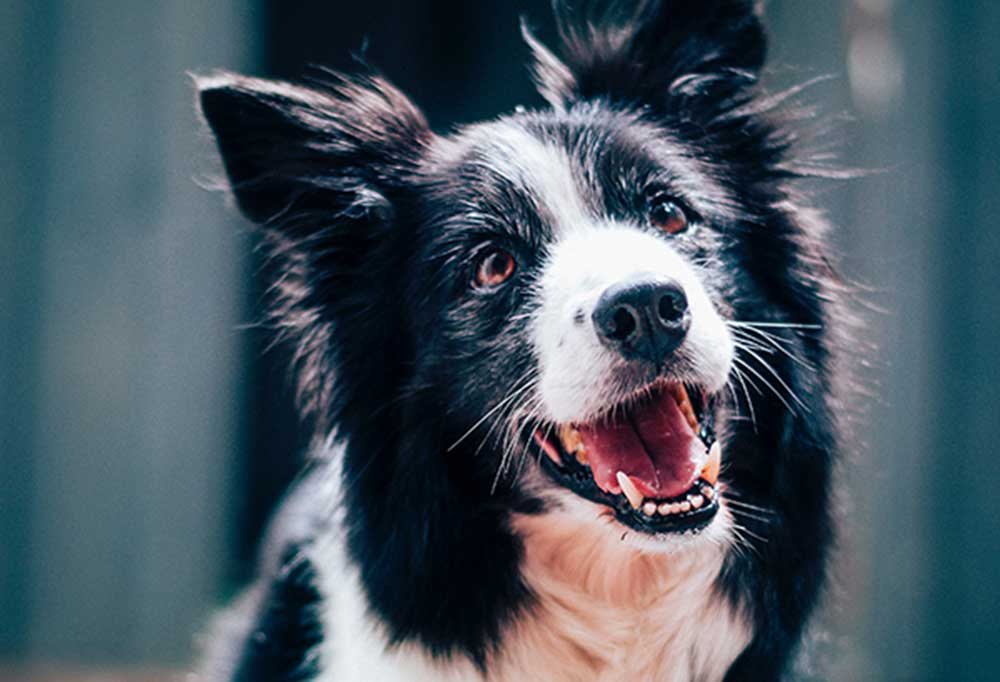 close up head shot of a black and white collie