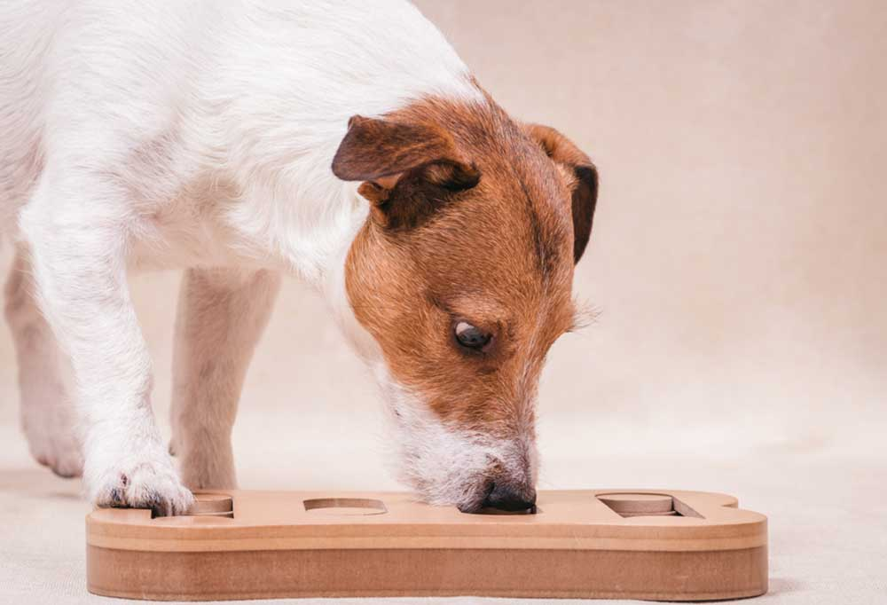 Jack Russell Terrier playing treat finding puzzle game
