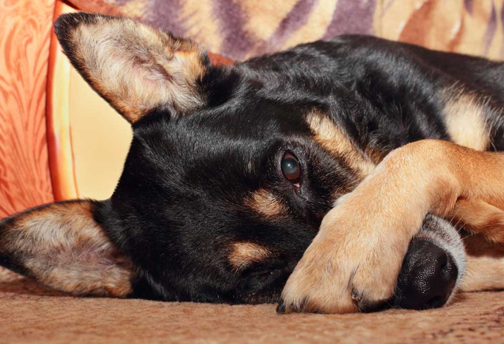 Black and tan dog laying on its side with its paw over its snout