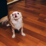 Chihuahua standing on hard wood floor barking