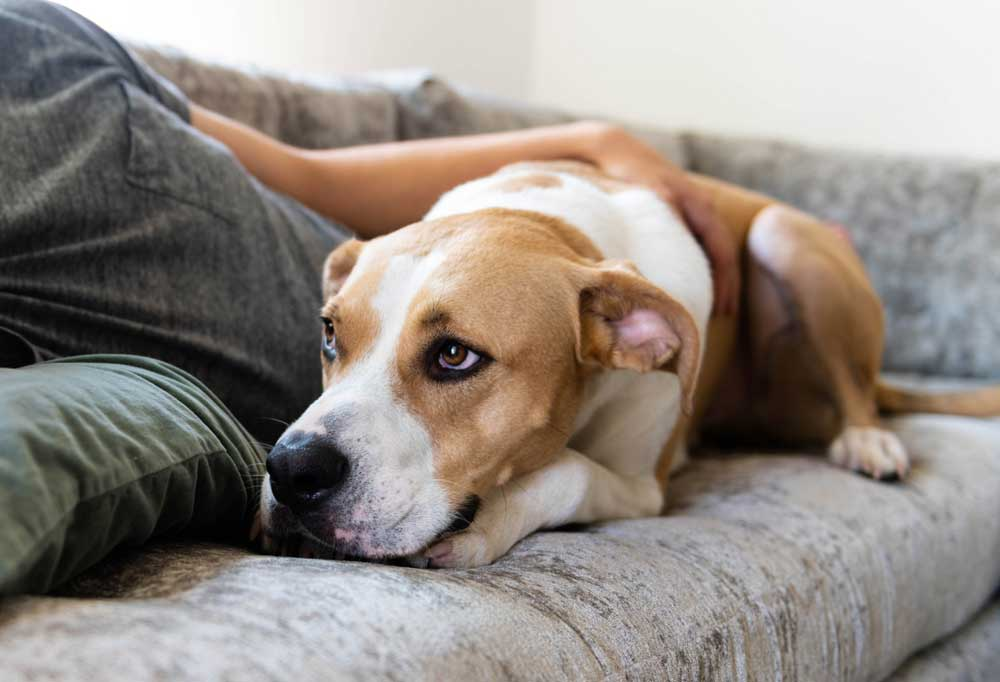 Brown and white dog laying with owner on the couch