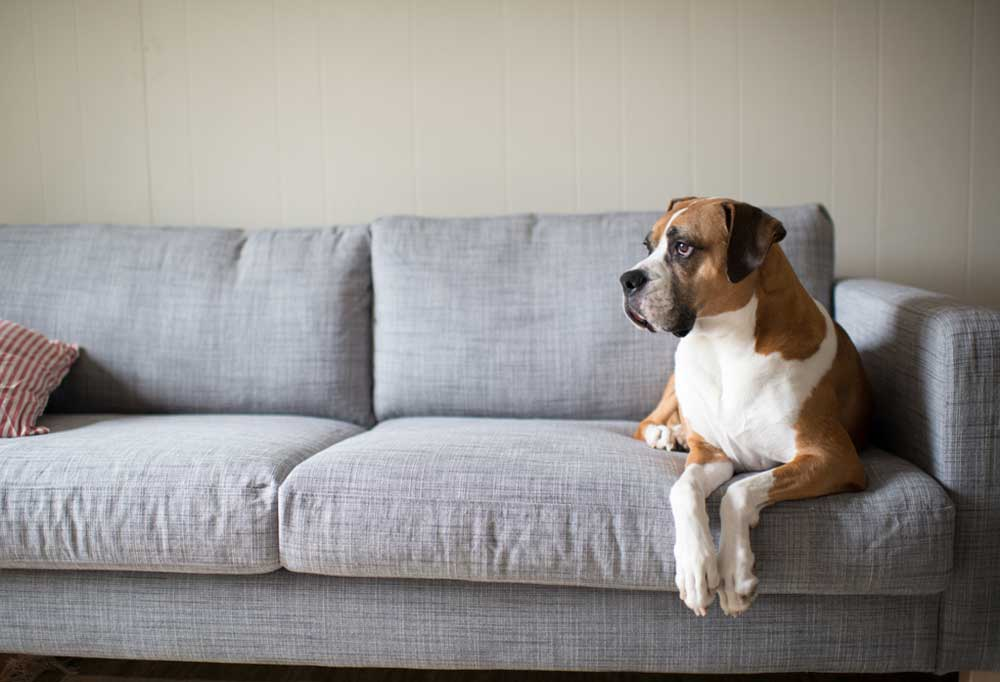 Boxer dog laying on grey couch with front paws hanging off of the front