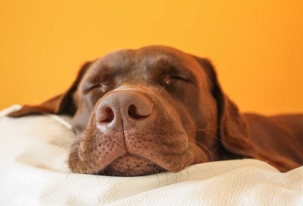 Chocolate Labrador Retriever asleep on a blanket with a yellow background