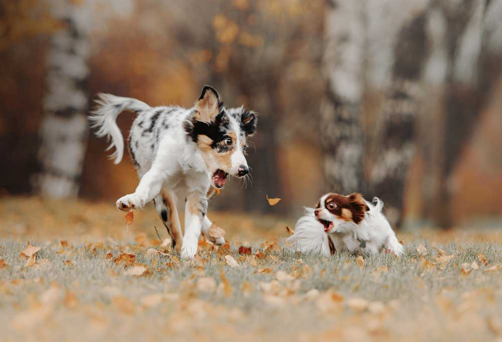 Australian cattle dog playing with chihuahua