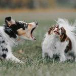 Australian Shepherd barking at a growling Chihuahua