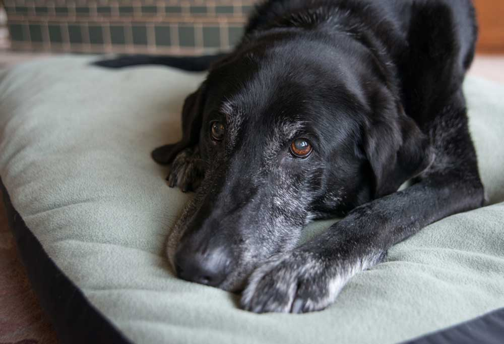Old black dog with greying face laying on dog bed