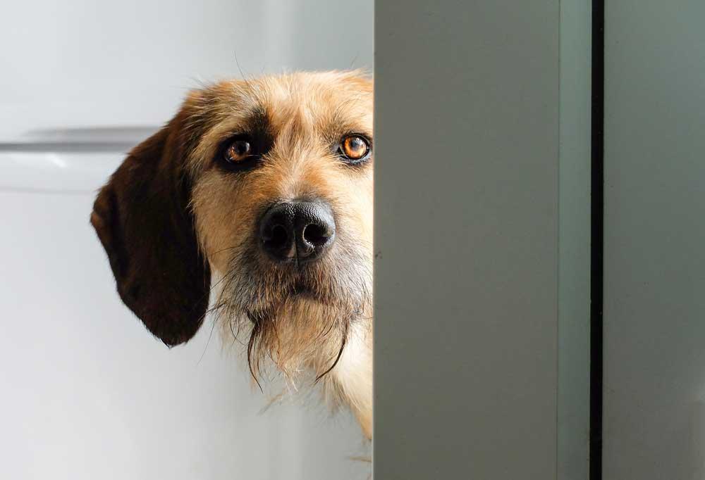 dog with shaggy beard hair peaking around open door