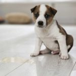 Brown and white puppy sitting on a hard wood floor next to a puddle of pee