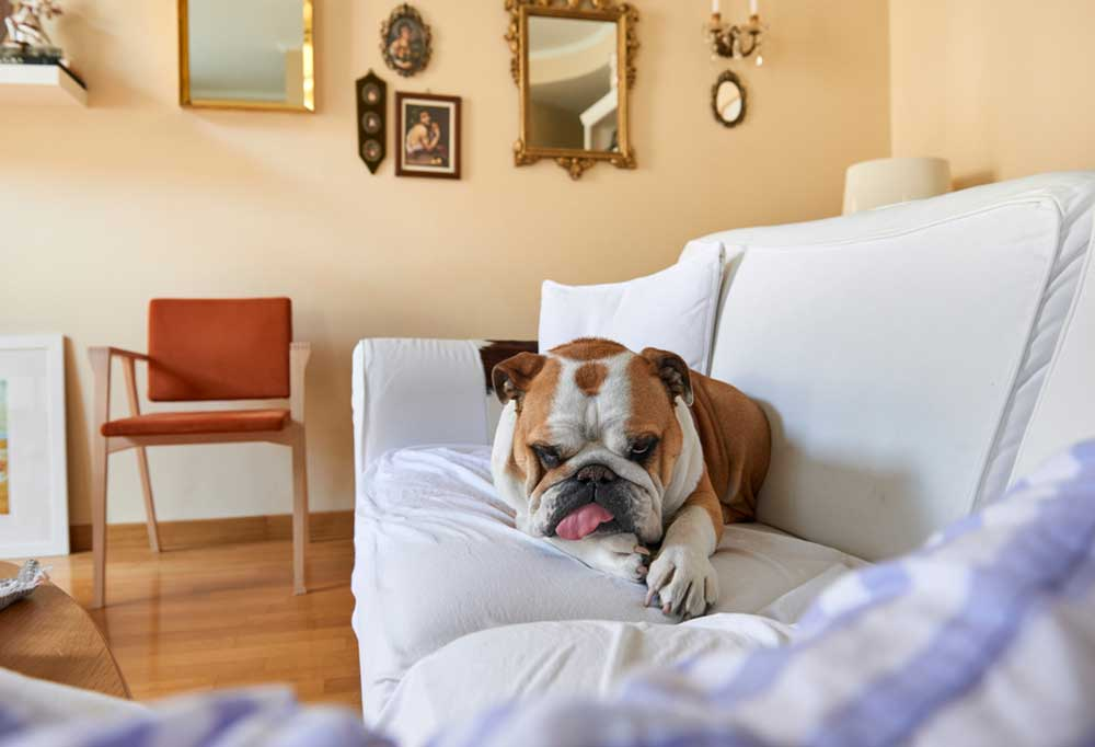 Bull dog with tongue sticking out laying on a couch in a living room setting