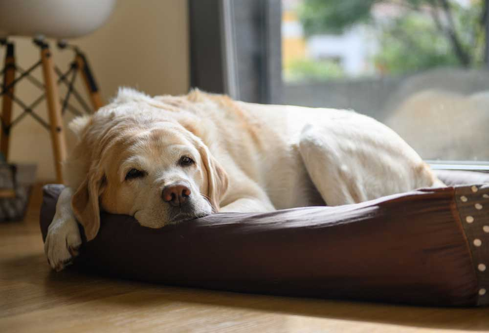 Yellow Labrador Retirever laying in a dog bed