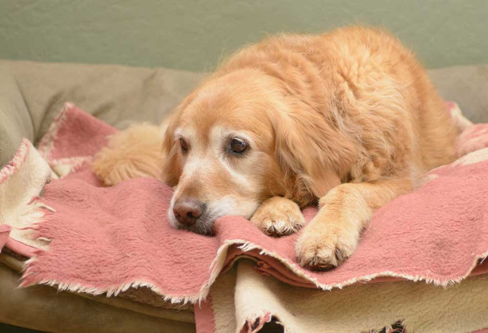 Golden Retriever laying on a pink and white blanket in a dog bed