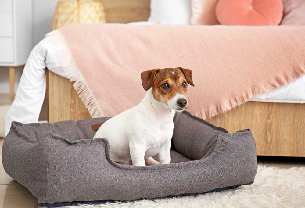 Jack Russell Terrier sitting in a dog bed next to a human bed