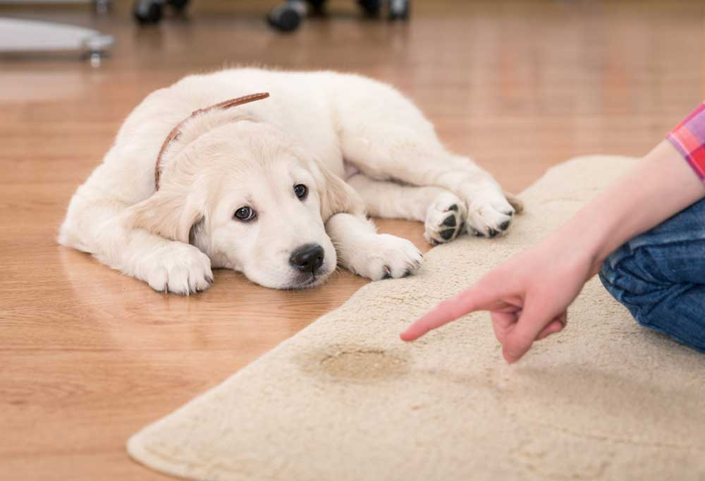 Golden retriever puppy being scolded for peeing on rug