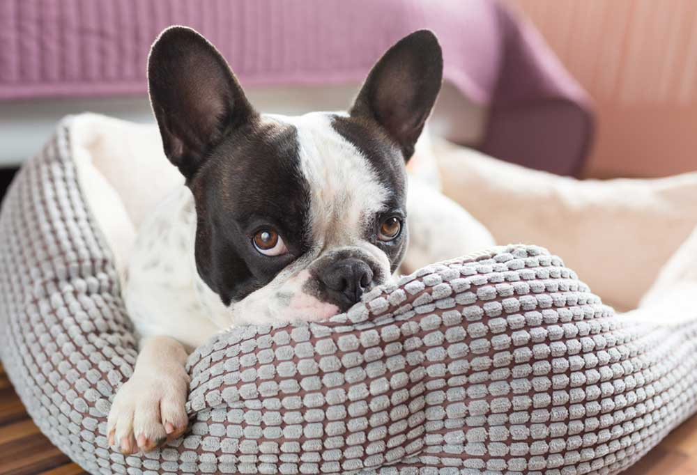Boston terrier laying in a dog bed with head resting on side