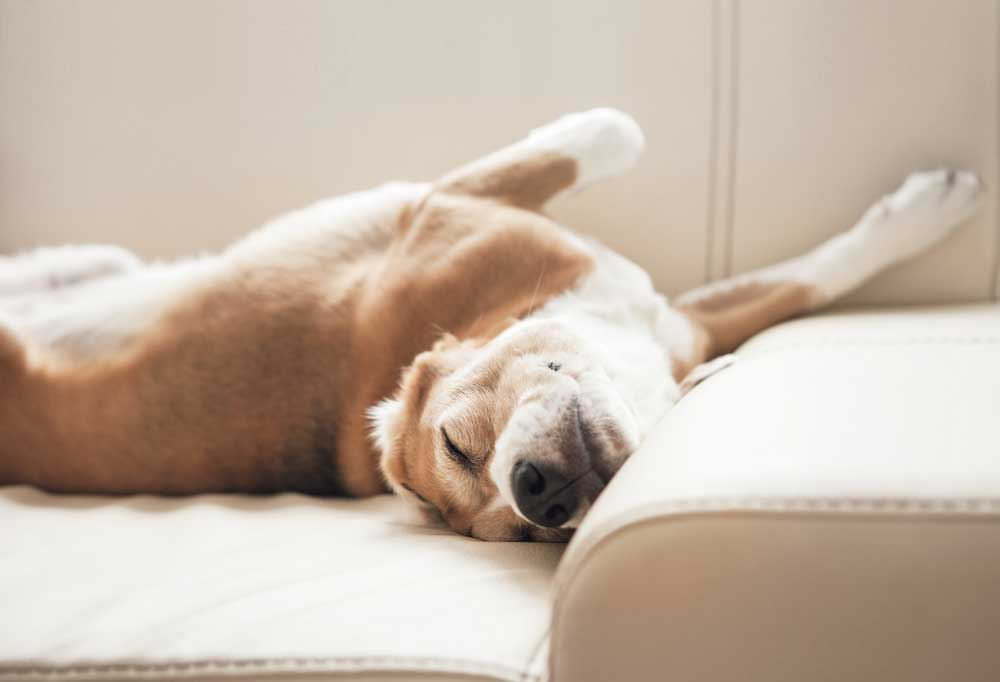 Dog sleeping on couch upside down and with head bent at odd angle
