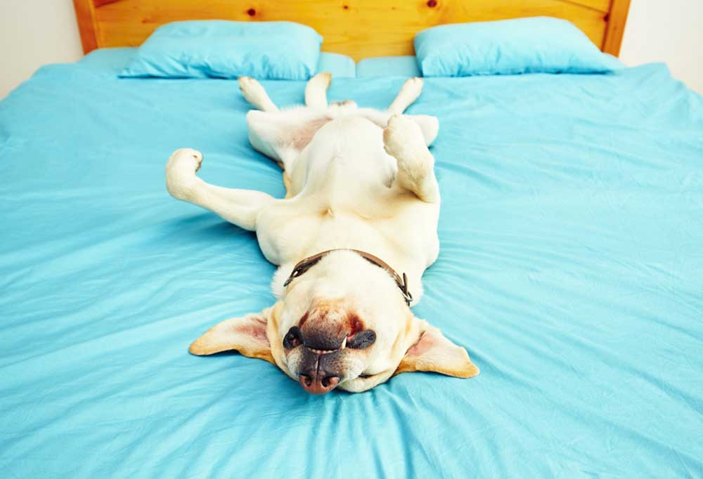 Yellow Labrador Retriever sleeping upside down on a bed with bright blue sheets