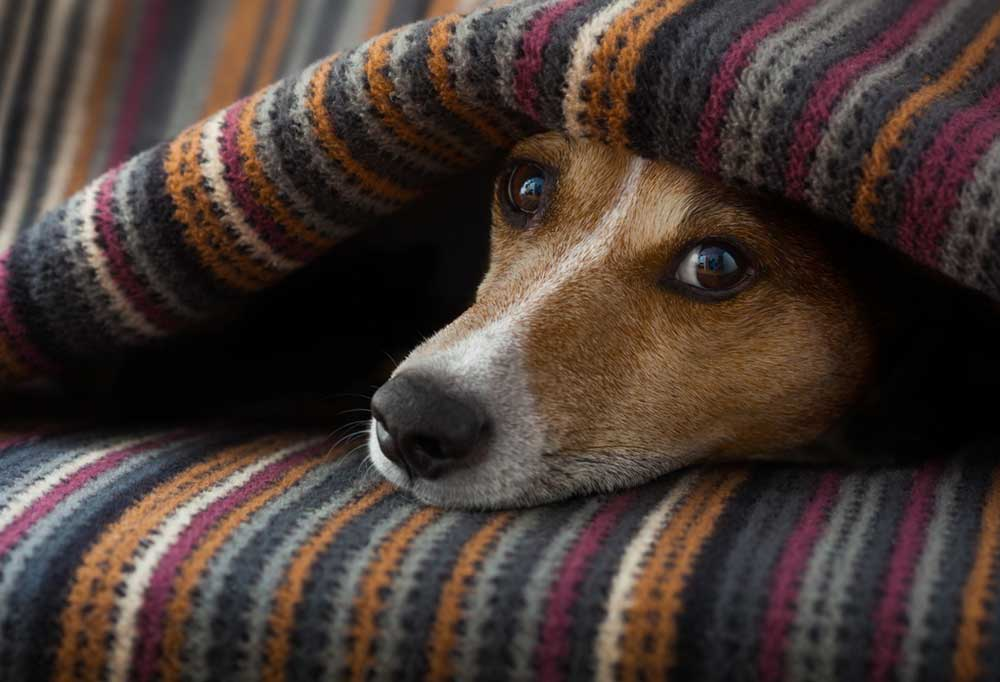 Jack Russell Terrier hiding under a blanket with its head sticking out