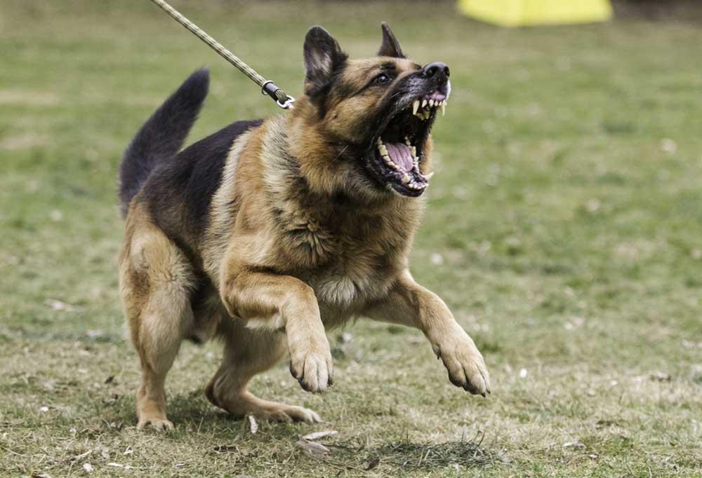 German Shepherd on a leash in a grass field barking