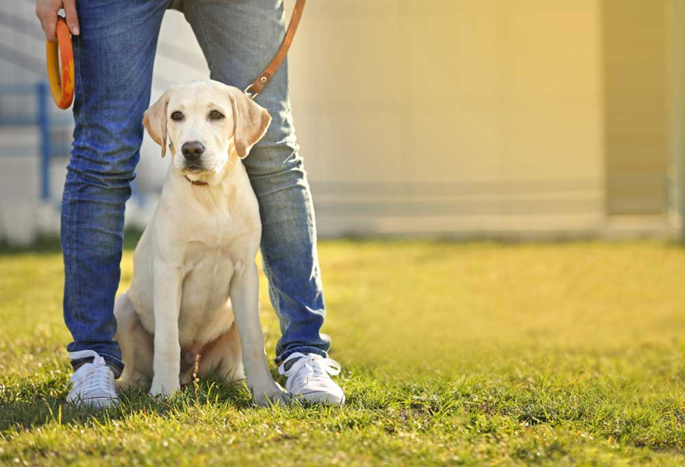 Yellow Labrador sitting at owners feet on a leash outdoors in the grass