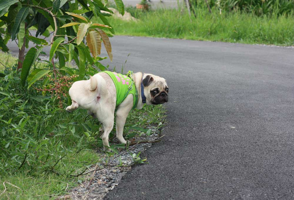 Pug peeing on the side of the road with his leg hiked.