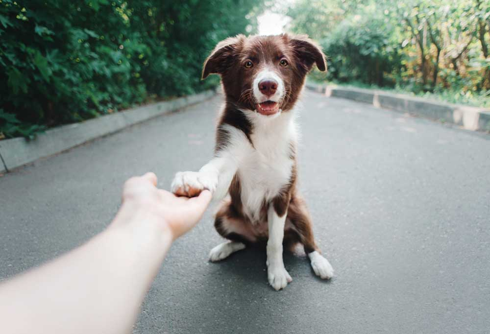brown and white dog giving a handshake to a human while sitting in the middle of a long driveway lined with trees and brush