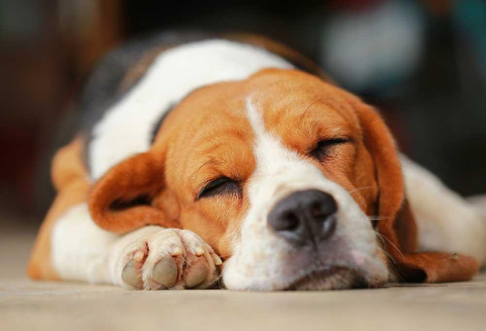 Close up of Beagle sleeping on floor