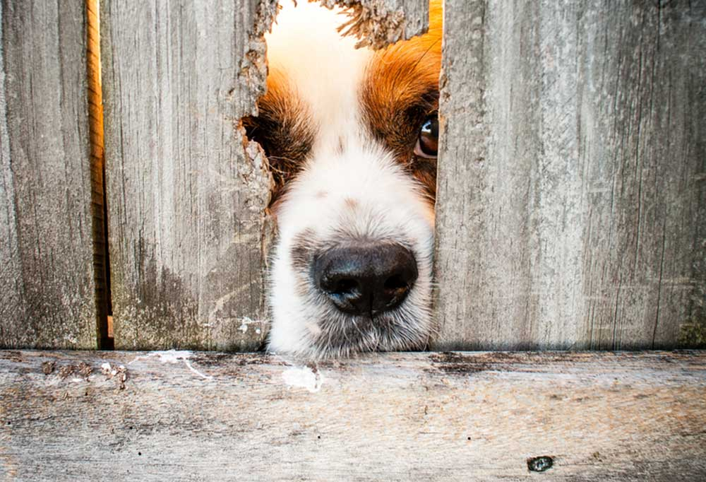 Dog with nose suck though hole in privacy fence