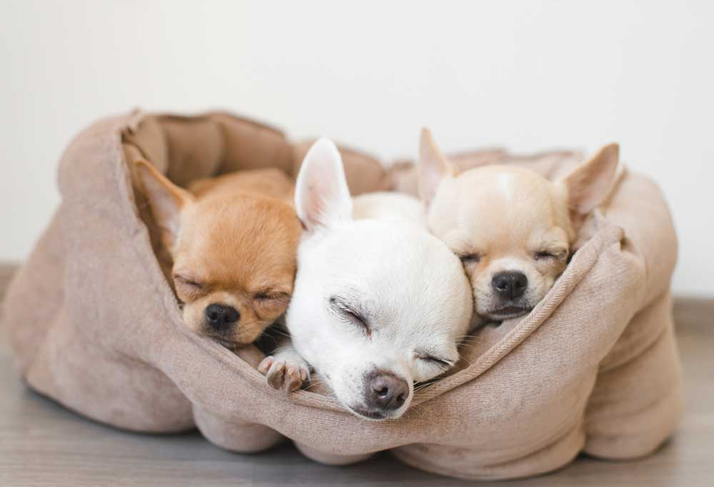 3 Chihuahuas asleep in a dog bed