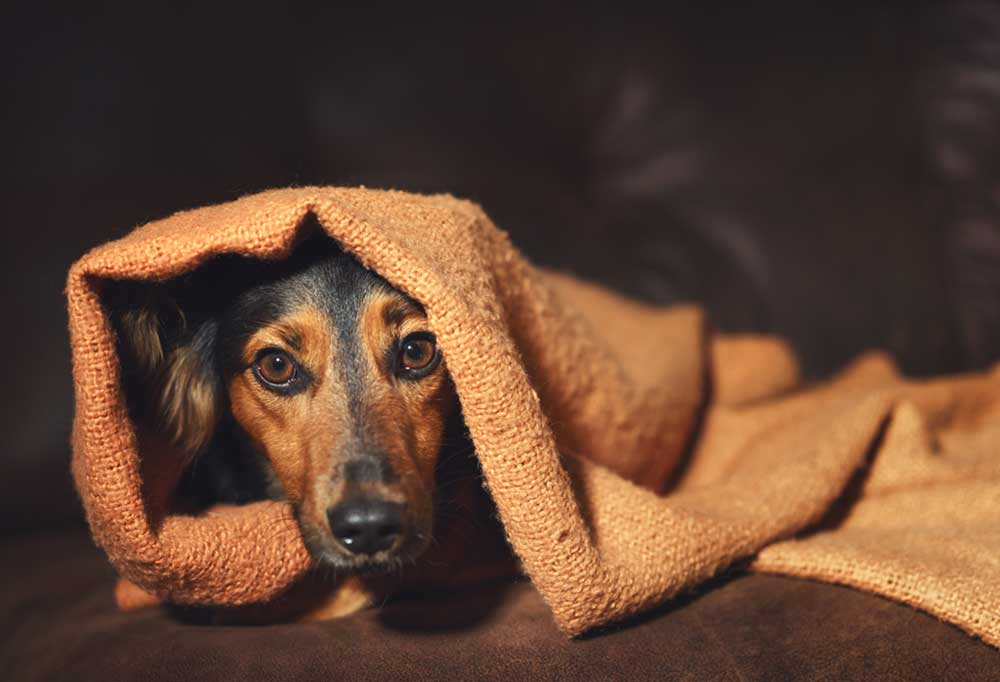 Dachshund looking nervous peaking out from under blanket