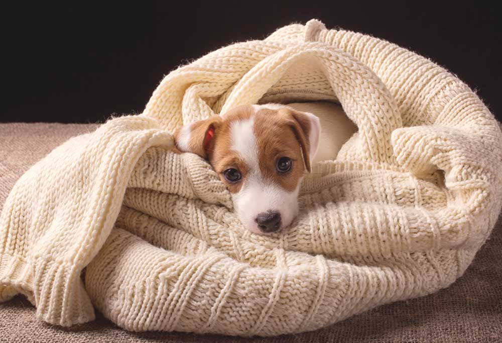 Jack Russell Terrier puppy wrapped up in person's sweater