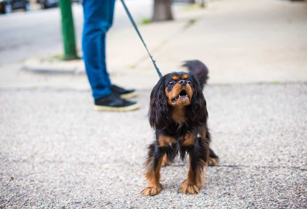 small brown and black dog on a leash standing in the road barking