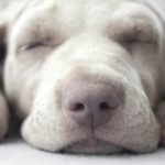Close up of Weimaraner puppy asleep with head between paws