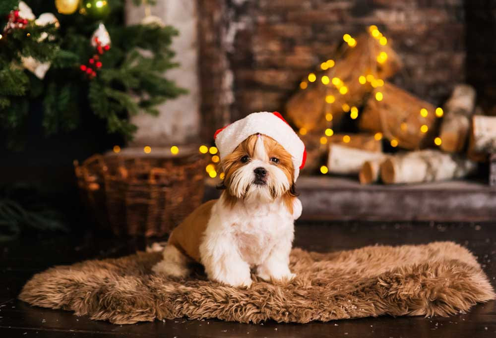 Small brown and white dog with long hair wearing a Santa hat, sitting on a rug in front of a Christmas tree