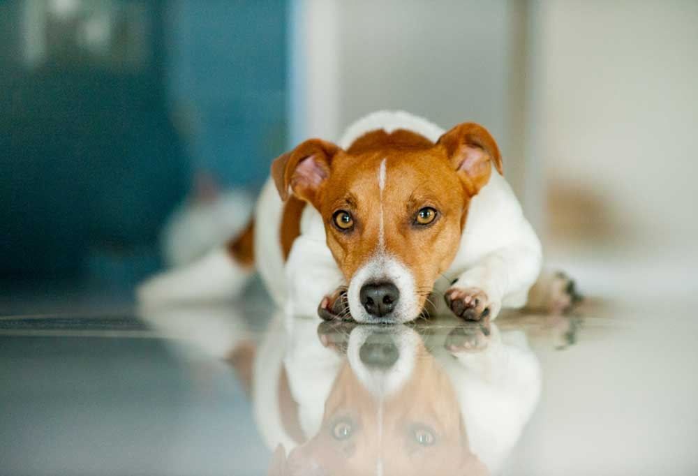 Jack Russel Terrier laying on a shiny floor