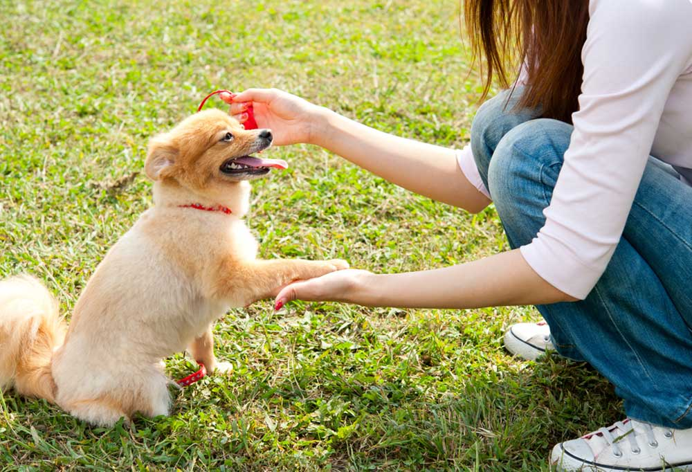 Person kneeling in grass to teach a chihuahua to shake hands
