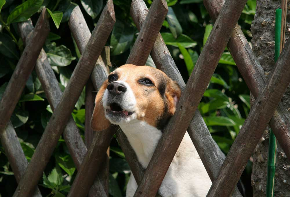 Beagle with head stuck out between wooden fence posts
