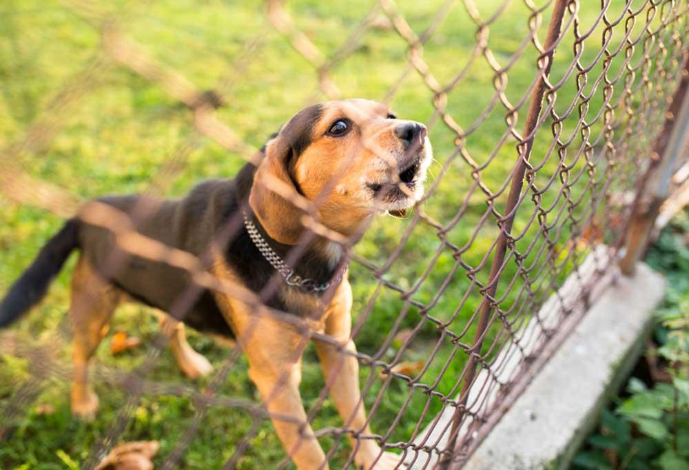 Hound dog behind a fence barking