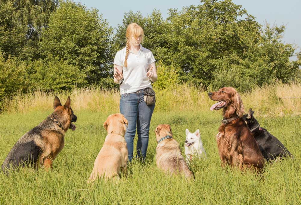 Woman in a tall grass field with several dogs, training them.