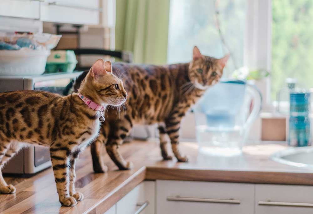 2 cats standing on the kitchen counter