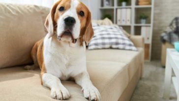 Beagle laying on couch, looking at camera
