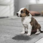 Brown and white puppy sitting next to pee puddle on carpet