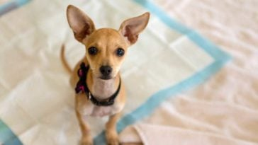 Chihuahua sitting on a pee pad