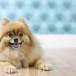 Pomeranian laying on hard wood floor