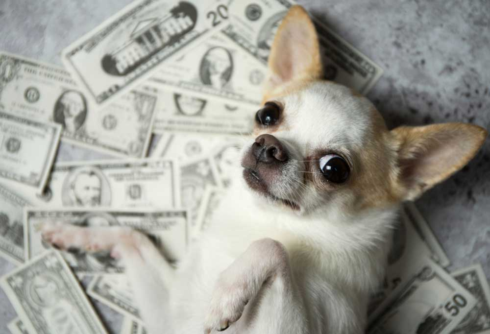 Chihuahua laying on its back on a pile of money