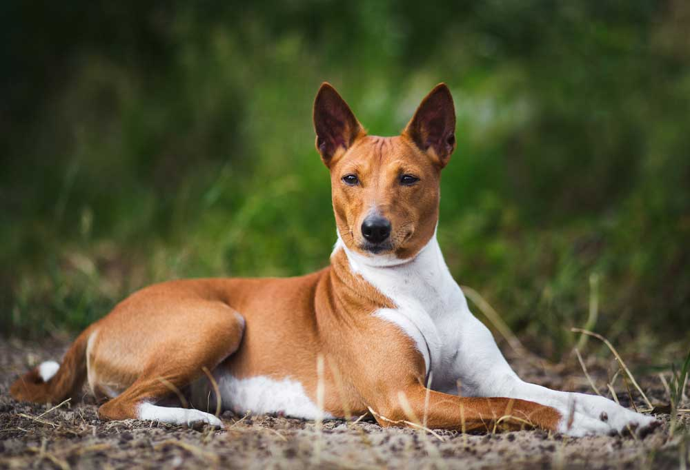 Basenji laying on dirt covered ground outdoors