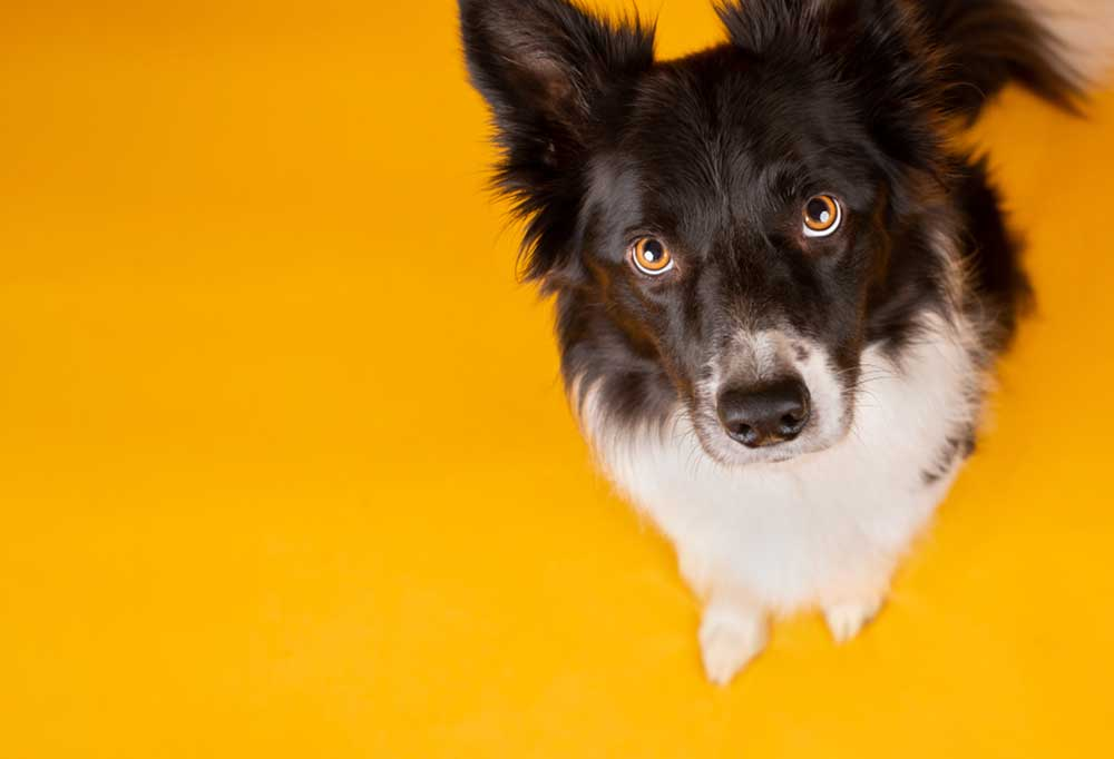 Border Collie on a bright yellow background