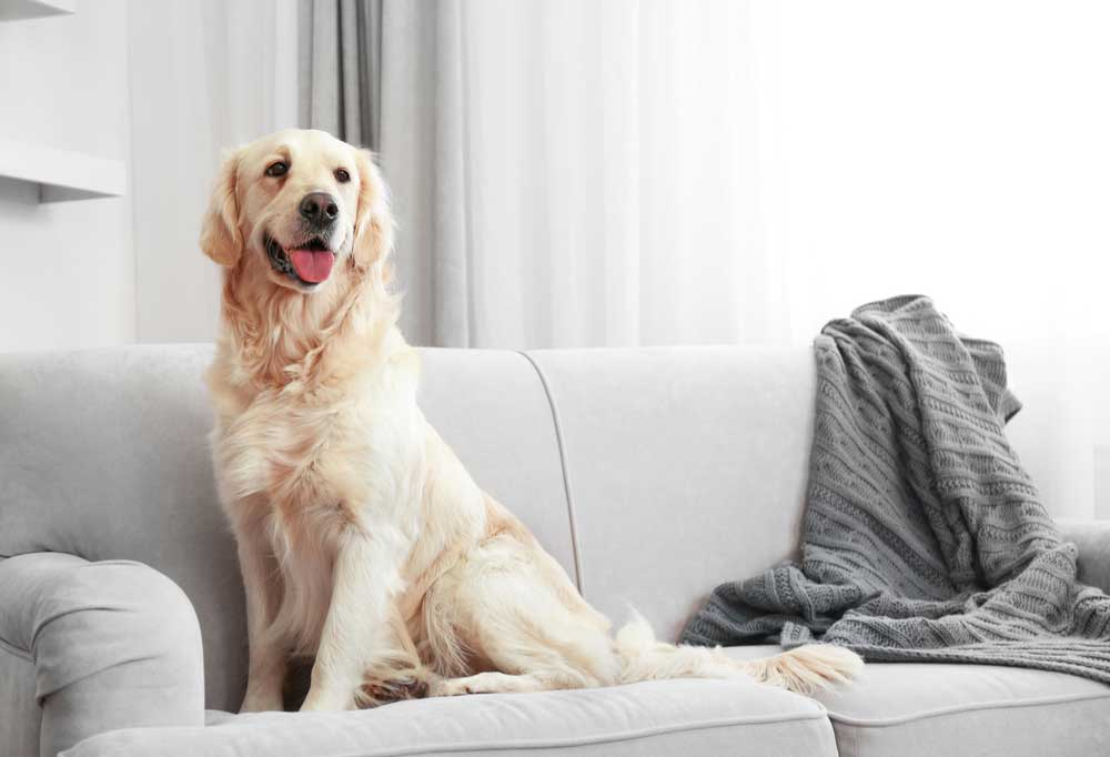 Golden retriever sitting on a light grey couch