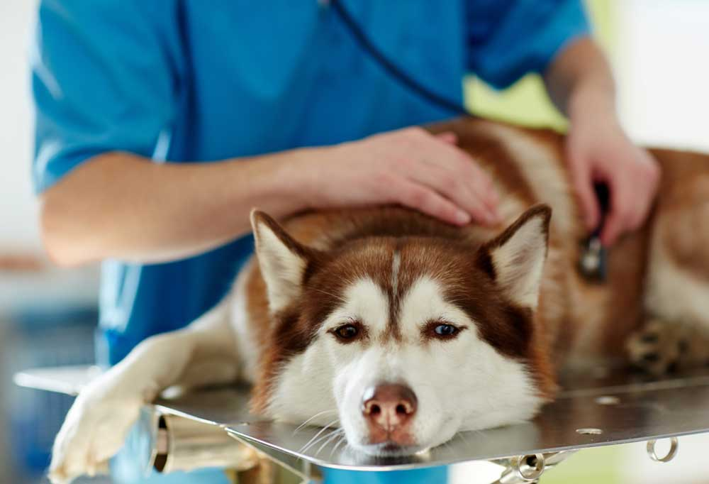 Husky being examined by vet on a metal exam table