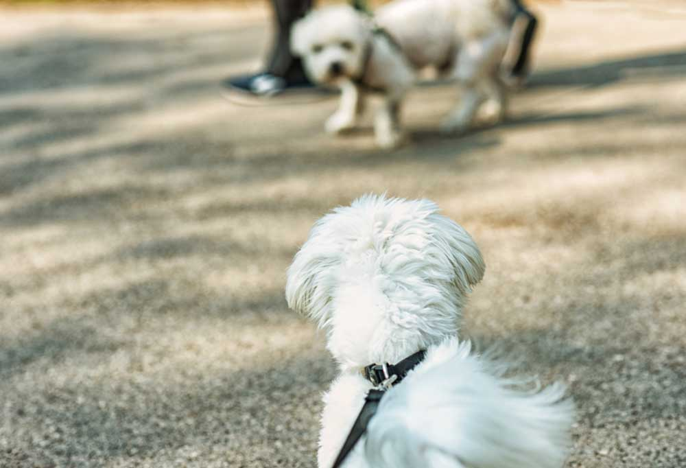 Maltese on a leash barking at another dog on a leash.