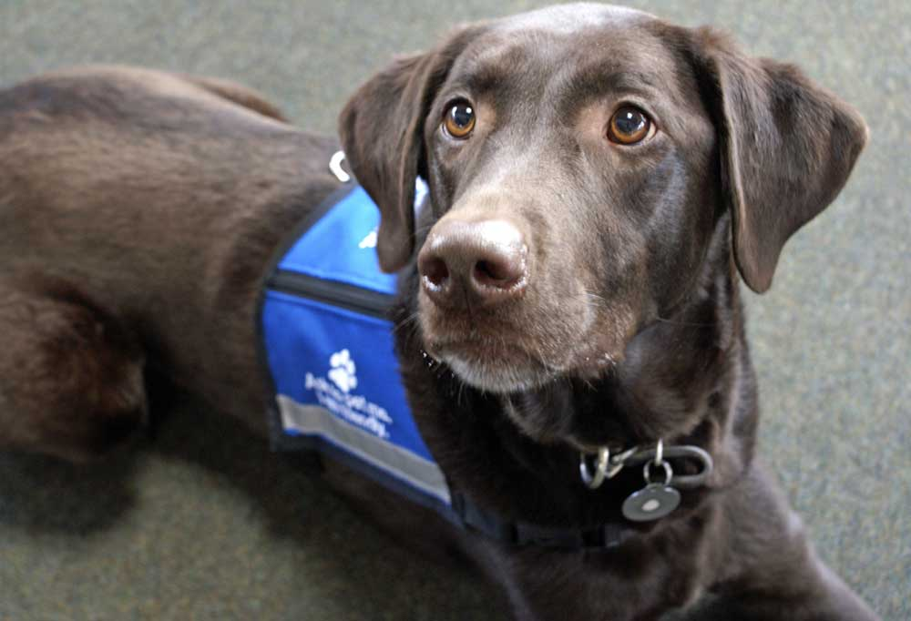 Chocolate lab wearing a therapy dog vest laying on the floor